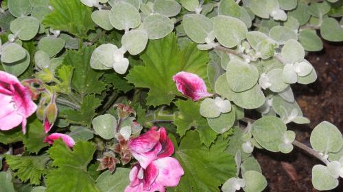 The geranium makes itself known, but adjusts to its new found companion, the licorice plant.
